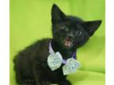 Adopt Macaroon a Domestic Short Hair