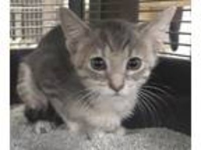Adopt Maya (Cherry Hill PetSmart) a Domestic Short Hair, Tabby
