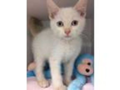 Adopt Ghost a White Siamese / Domestic Shorthair / Mixed cat in Clearwater