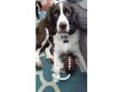 Adopt Shakespeare a White - with Brown or Chocolate English Springer Spaniel /