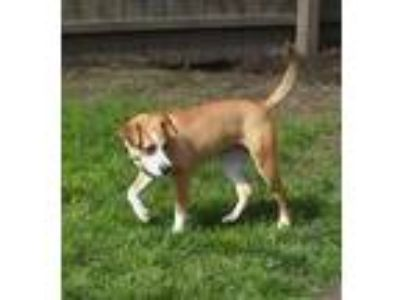 Adopt Betty a Jack Russell Terrier