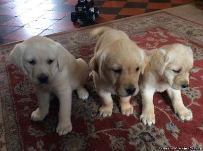 Akc Labrador retriever puppies.