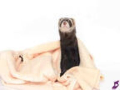 Adopt NOODLE a Sable Ferret / Mixed small animal in Murray, UT (25816152)