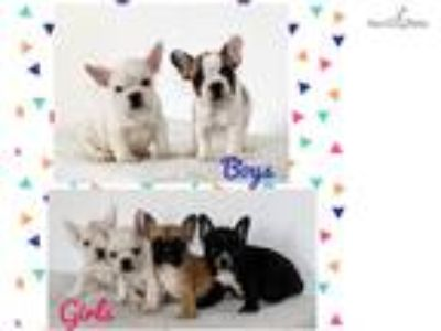 Quality French Bulldog Puppies Available!!