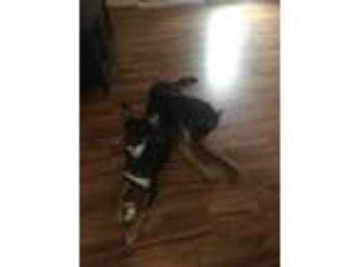 Adopt Audrey a Black - with Tan, Yellow or Fawn German Shepherd Dog / Australian