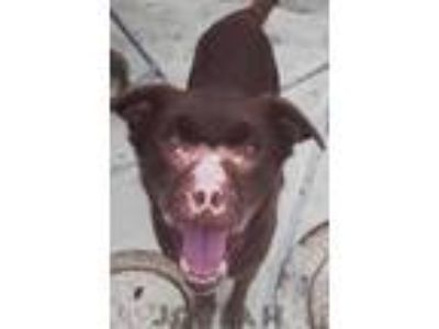 Adopt Josiah a Chesapeake Bay Retriever / Border Collie dog in Point