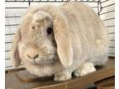 Adopt Avail.6/14 Auggie 2 years NO KIDS a Lop Eared