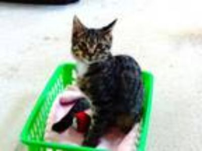Adopt Tony a Domestic Medium Hair
