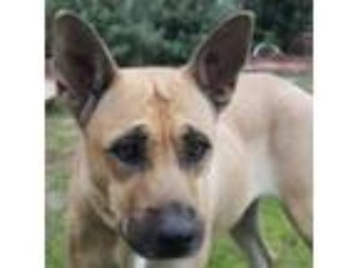 Adopt Sahara a Tan/Yellow/Fawn German Shepherd Dog dog in San Antonio