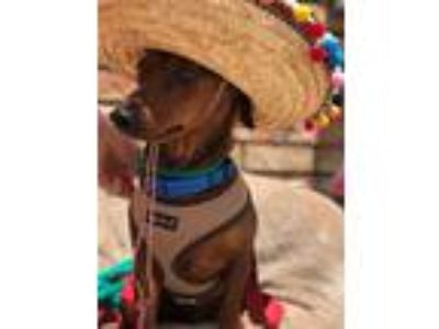 Adopt Rico a Dachshund / Mixed dog in New Orleans, LA (25328331)
