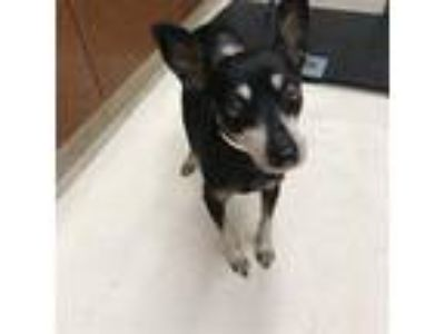 Adopt UNKNOWN a Black - with Tan, Yellow or Fawn Miniature Pinscher / Mixed dog