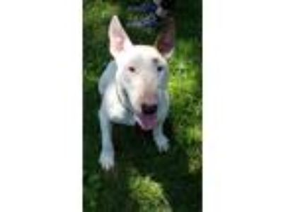Adopt Teddy a White Bull Terrier / Mixed dog in Lititz, PA (25841934)