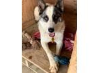 Adopt Spot a White - with Black Border Collie / Australian Cattle Dog / Mixed