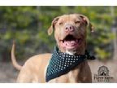 Adopt Fontaine a White American Pit Bull Terrier / Vizsla dog in Rathdrum