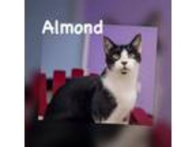 Adopt Almond - Visit at Honky Cat Cafe in Gardenia a Tuxedo