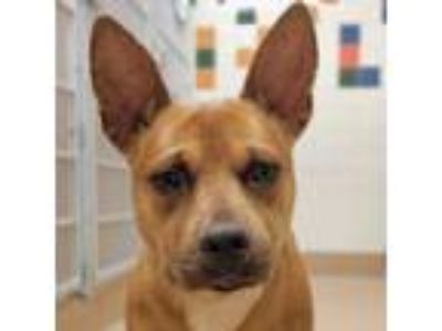 Adopt Paddles a Red/Golden/Orange/Chestnut American Pit Bull Terrier / Mixed dog