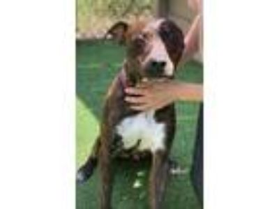 Adopt Jude a Mountain Cur, American Staffordshire Terrier
