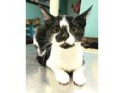 Adopt Kira a Domestic Short Hair