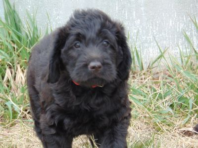 Labradoodle PUPPY FOR SALE ADN-70362 - F1 Hunting Labradoodles