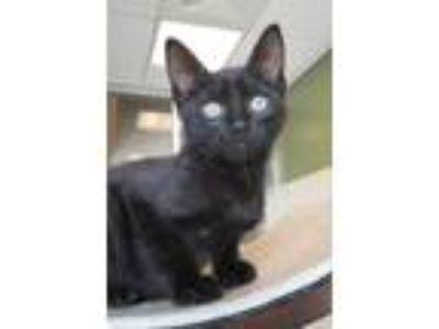 Adopt Frank a Domestic Short Hair
