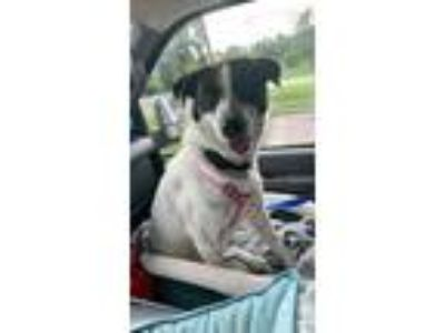 Adopt Miracle a Border Collie