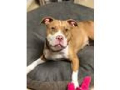 Adopt BRIX a Tan/Yellow/Fawn - with White American Pit Bull Terrier / Mixed dog