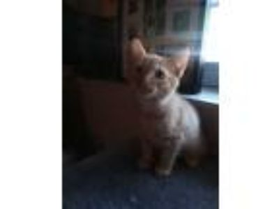 Adopt Connor a Orange or Red Tabby Domestic Shorthair (short coat) cat in