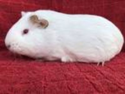 Adopt Frojo (born to Persila) a White Guinea Pig small animal in Imperial Beach
