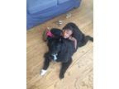 Adopt Nike a Black - with White Labrador Retriever / Border Collie dog in