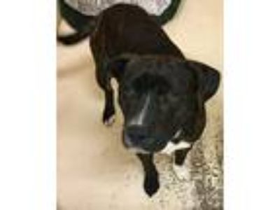 Adopt Wayne a Brindle - with White Pit Bull Terrier / Mixed dog in Loudon