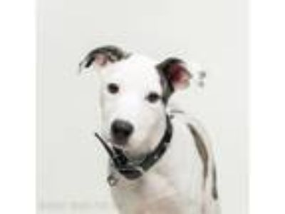Adopt Coconut a American Pit Bull Terrier / Mixed dog in Dublin, CA (25914590)