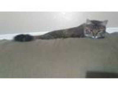 Adopt Luna a Gray, Blue or Silver Tabby Domestic Longhair / Mixed cat in