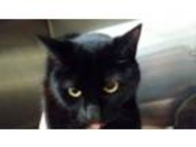 Adopt AUTUMN a Domestic Short Hair