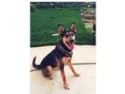 Adopt Koda a Black - with Tan, Yellow or Fawn German Shepherd Dog / Australian