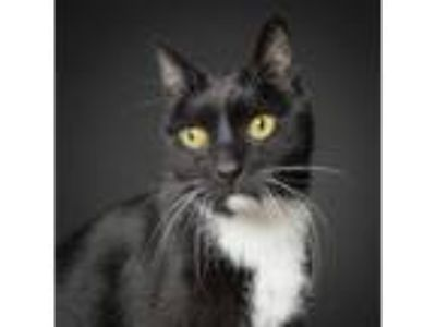 Adopt Oliver a All Black Domestic Shorthair / Domestic Shorthair / Mixed cat in