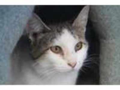Adopt Robyn a White Domestic Shorthair / Domestic Shorthair / Mixed cat in