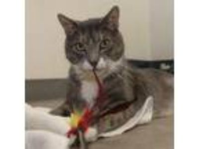 Adopt Matthew a Domestic Short Hair
