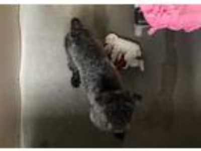 Adopt GUCCI a Gray/Blue/Silver/Salt & Pepper Poodle (Toy or Tea Cup) / Shar Pei