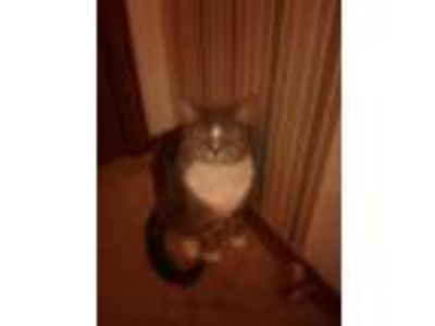 Adopt Stormy a Gray, Blue or Silver Tabby American Shorthair / Mixed cat in