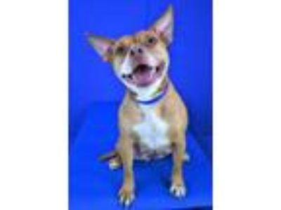 Adopt Cinnamon a Red/Golden/Orange/Chestnut American Pit Bull Terrier / Mixed