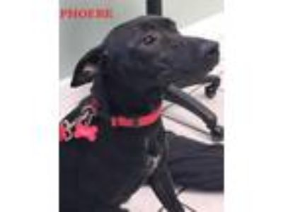 Adopt Phoebe a Black Bull Terrier / Mixed dog in Key Largo, FL (24604073)