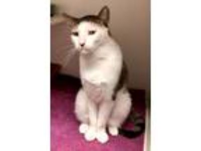 Adopt RIDER a Cream or Ivory (Mostly) Domestic Shorthair (short coat) cat in