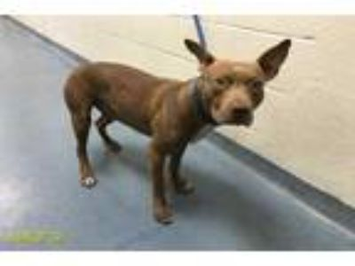 Adopt MATLOCK a Brown/Chocolate - with White American Pit Bull Terrier / Mixed