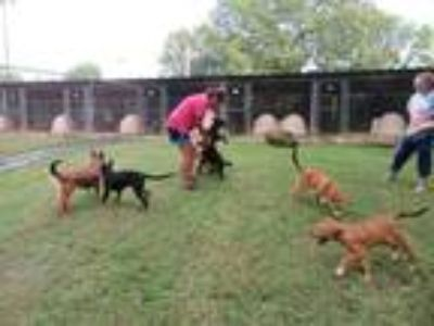 Adopt Sidelhills pups a Black - with Tan, Yellow or Fawn German Shepherd Dog /