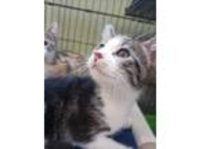Adopt Junn a White Domestic Shorthair / Domestic Shorthair / Mixed cat in