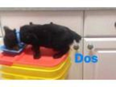 Adopt Dos a Domestic Short Hair