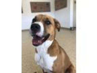 Adopt Brutus a Boxer, Border Collie