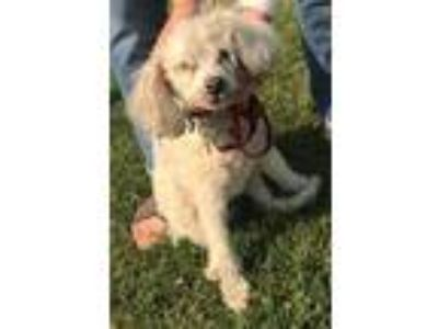 Adopt Sidney a White Poodle (Standard) / Mixed dog in Orange, CA (23813380)