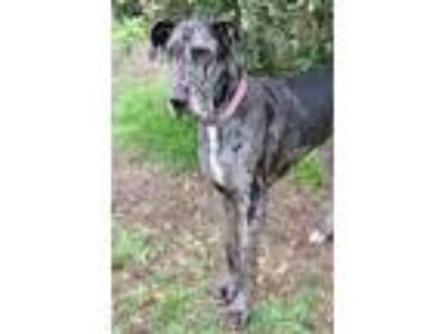 Adopt Ivy a Great Dane