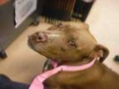 Adopt CANELA a Pit Bull Terrier, Mixed Breed
